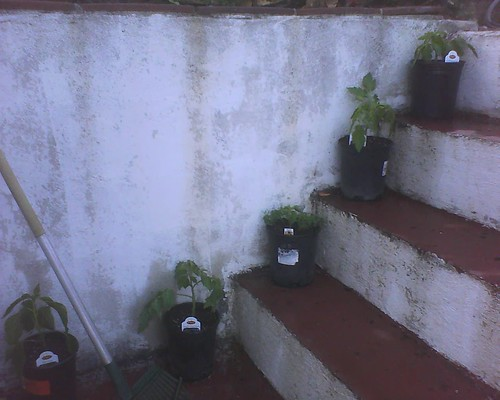 Tomato seedlings, potted up! by Veronica in LA