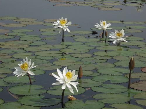 Lac aux hippopotames de Tengréla