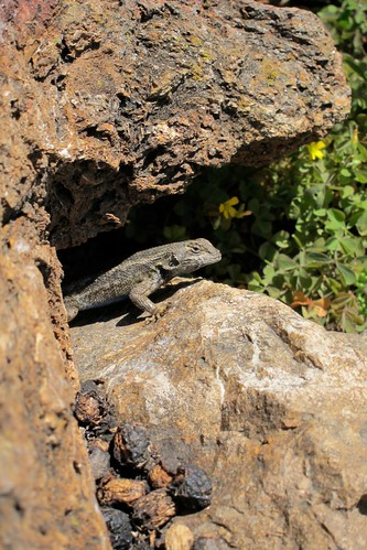 alligator lizard by Katy Dickinson