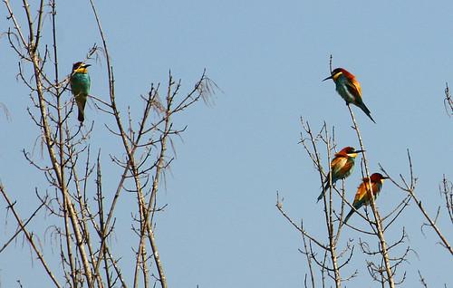 European Bee-eaters, Hula Nature Reserve