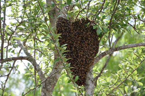 Belmont Swarm
