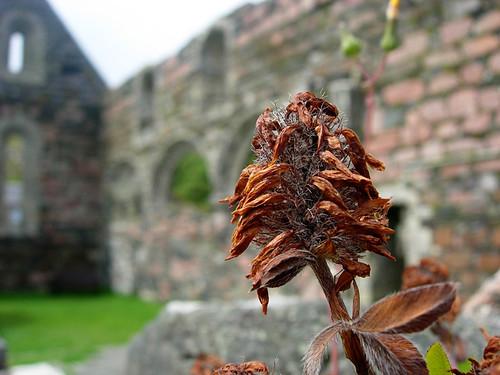 Iona-flower-nunnery-ruin