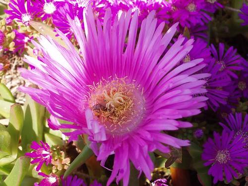 201104230050_helichrysum-flowers