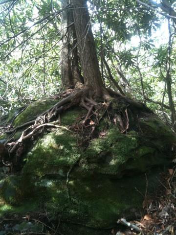 mountain laurel rock