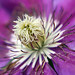 macro purple clematis