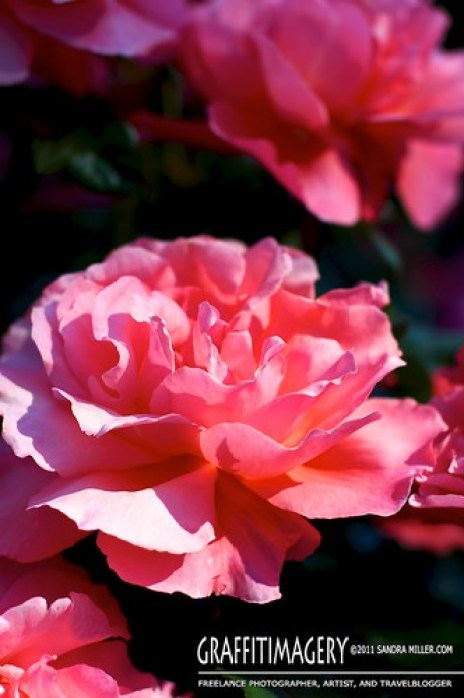Portland Rose Garden  2221