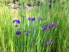 檜町公園のハナショウブ(Iris, Hinokicho Park, Tokyo, Japan)