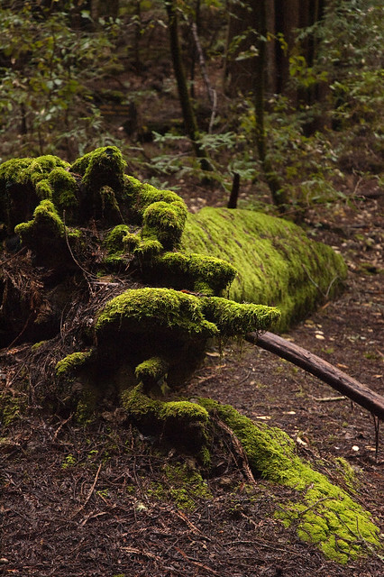 Big Basin Mossy Log