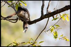 Indian Grey Hornbill (Embedded Images Inside)