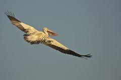 Spotted Spot-billed Pelican at ranganathittu b s