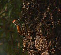 white naped woodpecker spotted at Ranganathittu B S