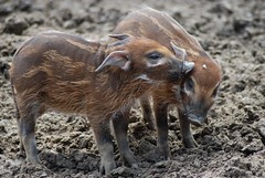 Pinselohrschweine im Gaia Park Kerkrade im Mai 2010