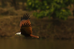 Brahminy Kite in Action