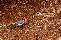 Cardinal!