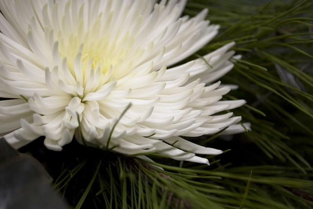 Close up - White Carnation