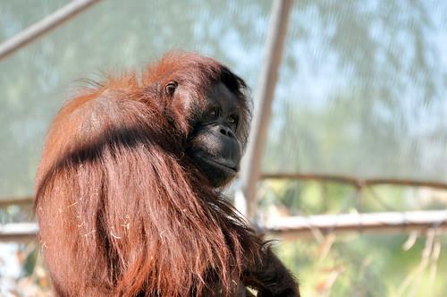 Orangutan artful pose