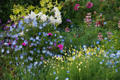 """Baby Blue Eyes"" ,Dianthus carthusianorum, Eschscholzia ccaespitosa Aquilegia 'Krystal' Lupinus & 'Rodeo Rose'"
