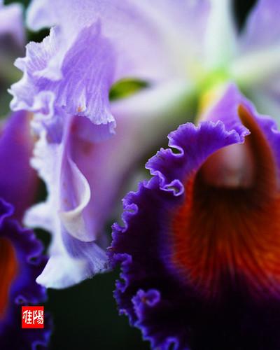 D80-CHI_Orchid03-2010_11-18B