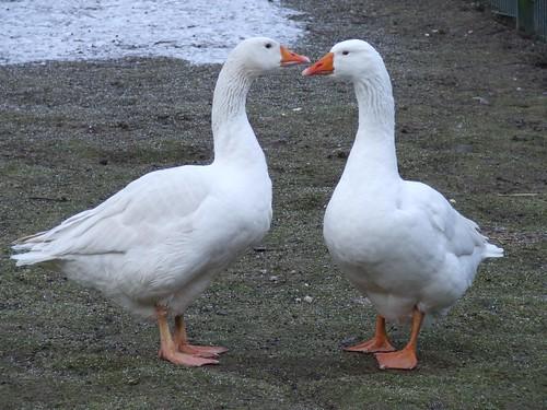 Geese's Smalltalk - Gänse-Smalltalk by borntobewild1946