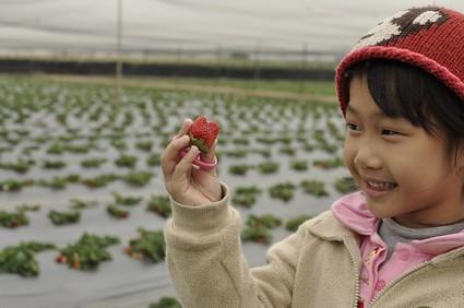 台南善化採草莓:採到小熊草莓(6.5ys)