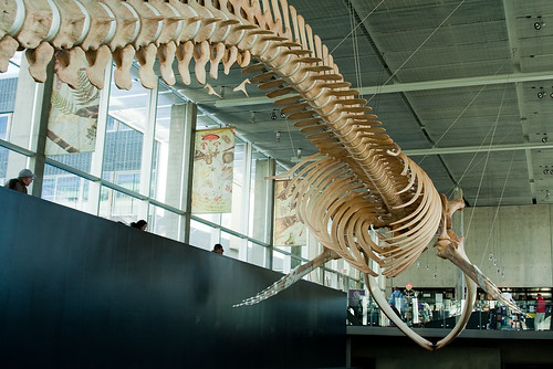 Blue Whale skeleton - tail view