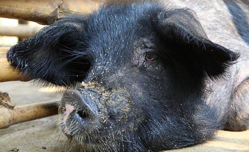 Pig in Nagaland, India