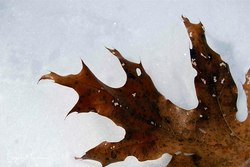 Leaf on Snow 3