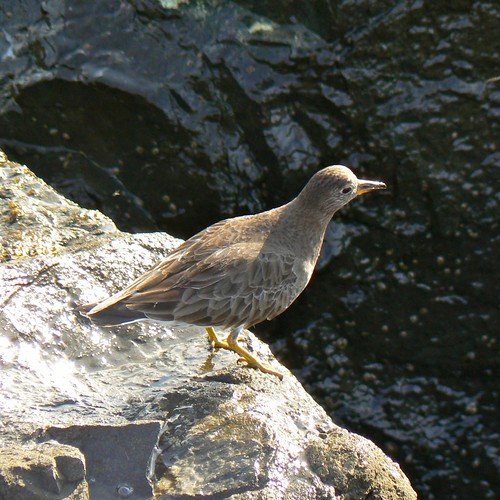 Surfbird (Aphriza virgata), Lover's Point, Pacific Grove, CA