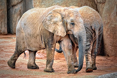 African Savanna Elephant (Loxodonta africana)