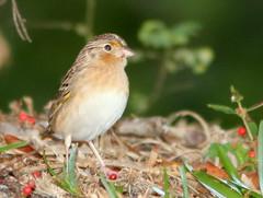 Grasshopper Sparrow 5-20110201