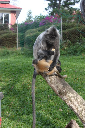 201102180822_silver-leaf-monkey-baby