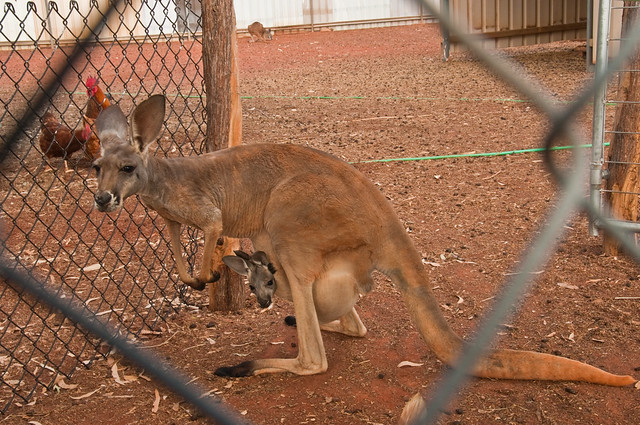 Kangaroo and joey at Sandstone