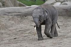 Asiatischer Elefant im Dierenpark Emmen im April 2010