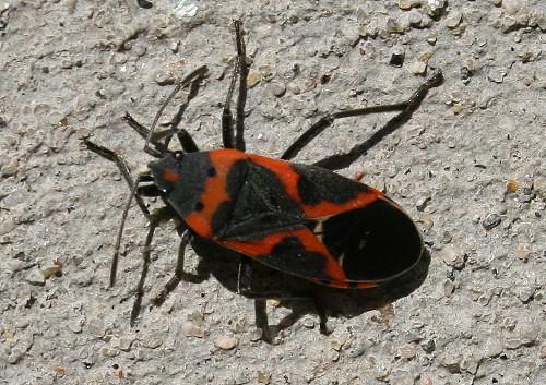 Small Milkweed Bug, Lygaeus kalmii