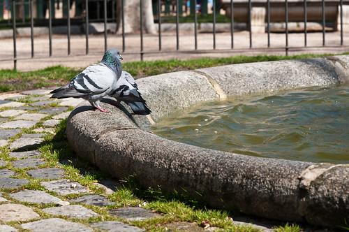 Las palomas de Madrid
