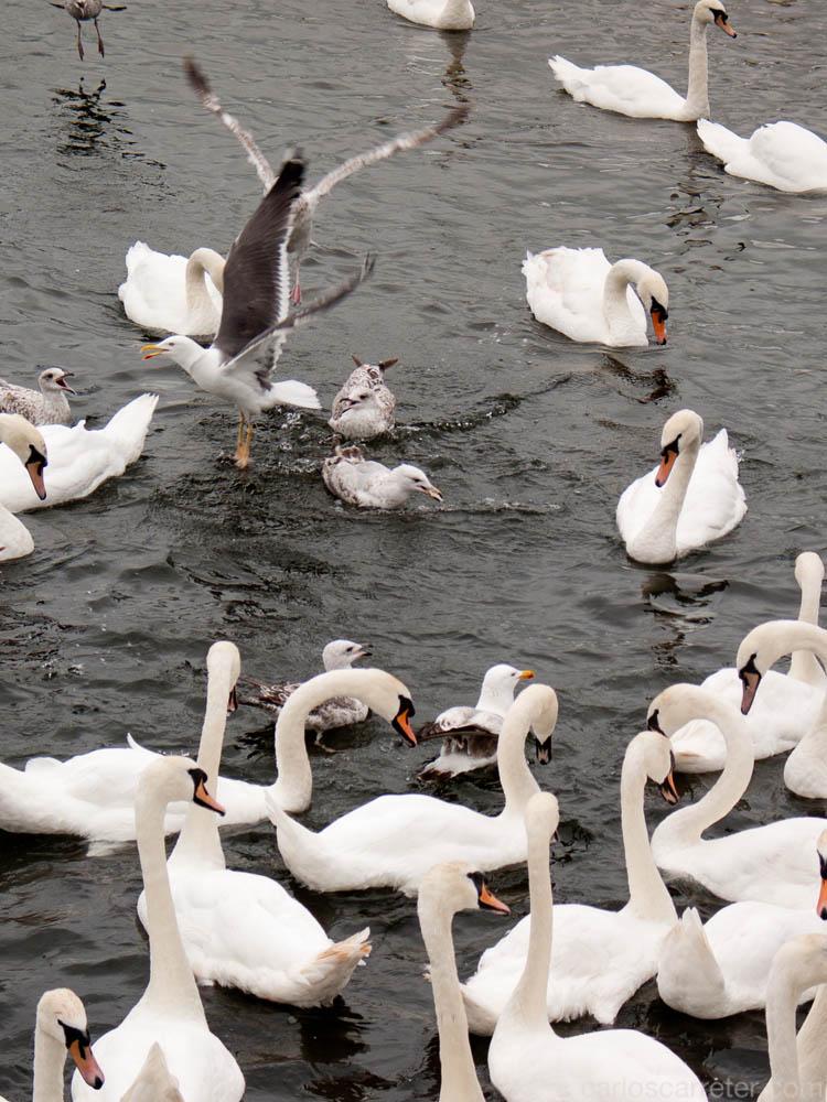 Cisnes y gaviotas en el puerto