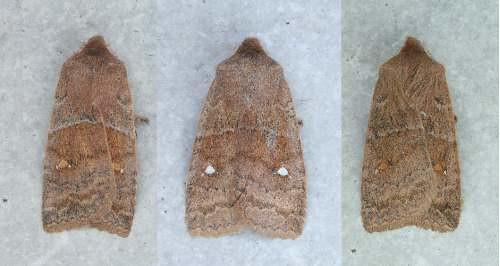 93-2587 - 9933 - Eupsilia vinulenta - Straight-toothed Sallow