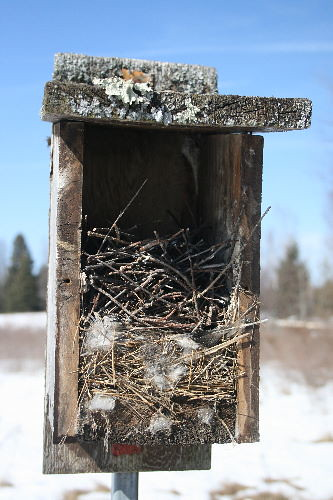 Wren nest atop abandoned bluebird nest