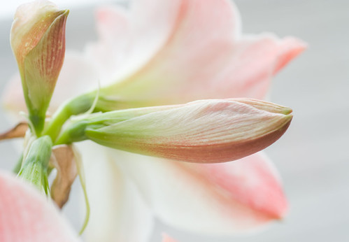 Amaryllis - flowers in winter