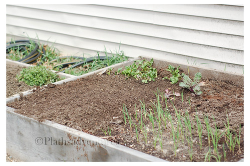 Garlic and lettuce bed