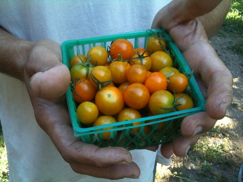 A pint of sweet cherry tomatoes in shades of orange held by a pair of farmer hands.