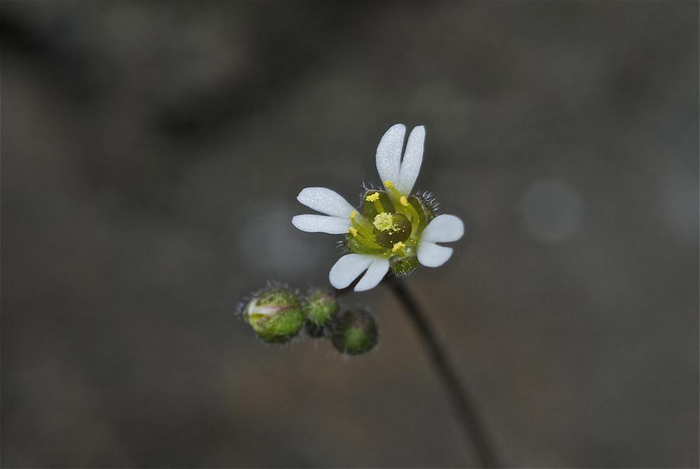 Spring Whitlow-grass, (Draba verna)