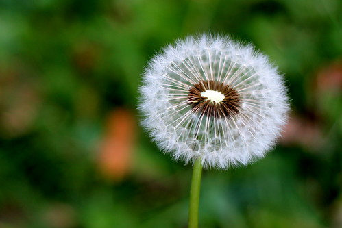 Tuesday: Dandelion Clock
