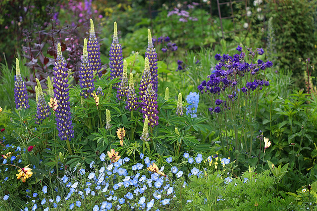 lupinus_thomas_church_garden