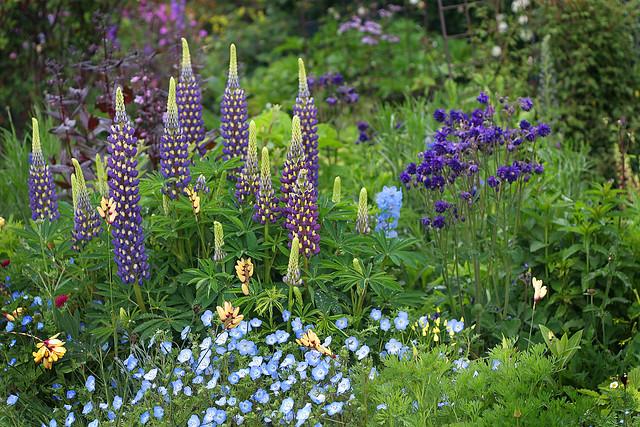 lupinus_thomas_church_garden