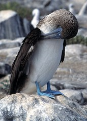 Blue-footed Booby (Sula nebouxii), Galápagos I...