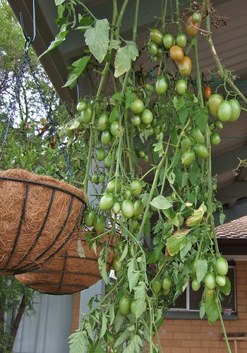 tomatoes hanging
