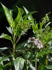 Stevia lucida #1