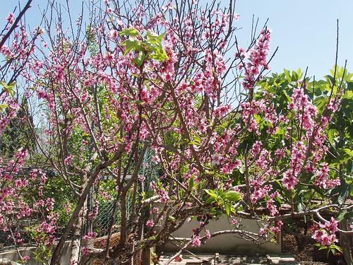 201104240053_almond-blossom