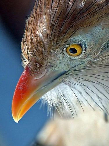 close-up-cuckoo-eye_12902_600x450